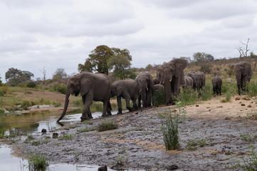 Foto auf Acrylglas Elefant Elepants in Kruger National Park, South Africa
