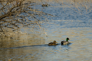 Mallard Ducks Swimming in the Autumn Pond