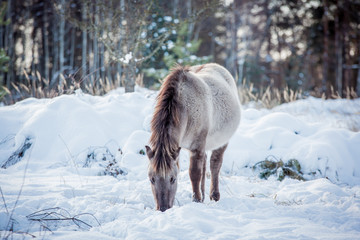 Horse of the breed Polish konik pose for portrait in winter against the background of snow