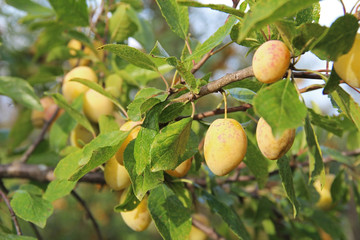 Plum yellow with green leaves growing in the garden. Plum. Plum on branch. Plum ripe