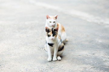 Two cats standing on the cement floor, Thai cat skin.
