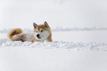 雪原の柴犬