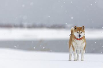 雪降る柴犬