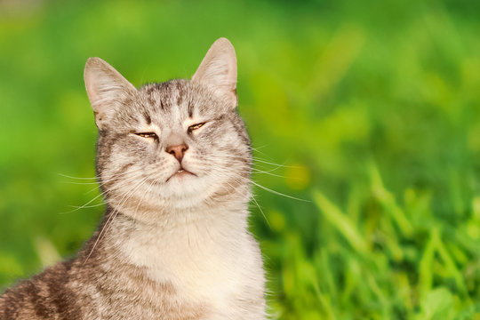 Happy positive grey cat sitting in the grass and smiling in the hot sun summer lights emotions animal background postcard pet wallpaper