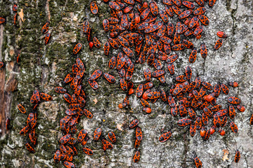 Red bugs bask in the sun on tree bark. Autumn warm-soldiers for beetles