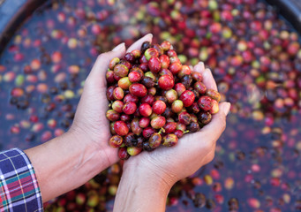 Poster Café en grains Organic red cherries coffee beans in hands of farmers, berry coffee beans.