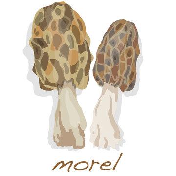 Spring mushrooms morel. Morels isolated on white