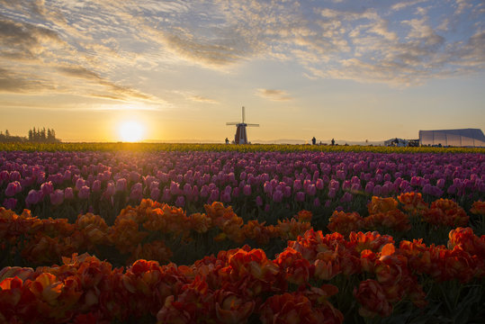 Colorful rows of tulips and a windmill at sunrise