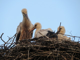 Stork and nestlings.  Village. Bryansk district. (The Vast Russia! Sergey, Bryansk.)