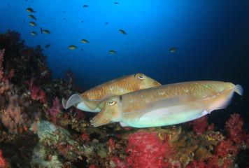 Pharaoh Cuttlefish pair