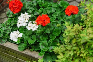 pelargonium flowers outdoor
