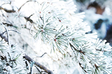Pine tree twigs with snowflakes, winter background