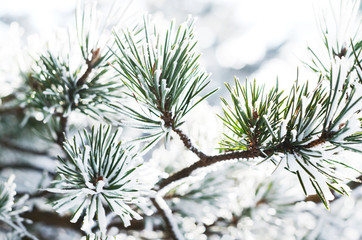 Pine tree branch with snow, winter background