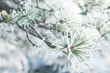 Pine tree needles in snow in winter forest