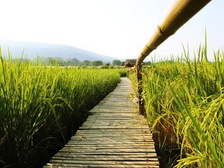 Rice field, beautiful green rice, abundant clear sky in Chiang Mai, Thailand.