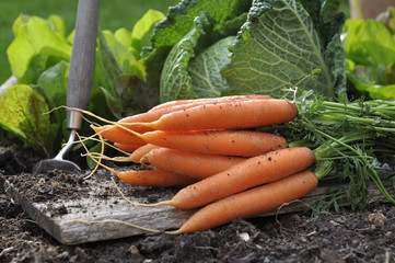 fresh carrots put on a plank in vegetable garden