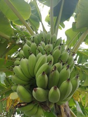 Banana Tree in Plantation