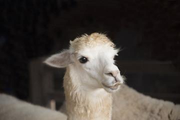 Portrait of cute sheep in herd looking
