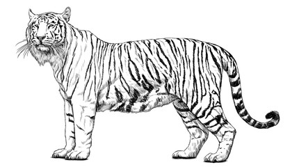 Tiger standing hand draw sketch black line on white background illustration.
