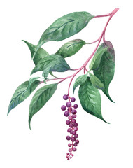 phytolacia  or lakonos branch, watercolor branch with purple berries, wild plant botanical illustration