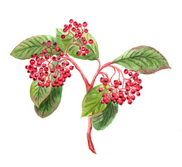 branch with red berries, watercolor vintage style botanical illustration. Floral design element