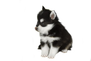 Funny Designer Puppy Husky or Small Pomsky White Isolated
