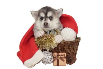 Little Designer Puppy Husky or Small Pomsky Dog In Basket