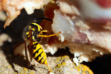large predatory wild wasp on a piece of raw meat