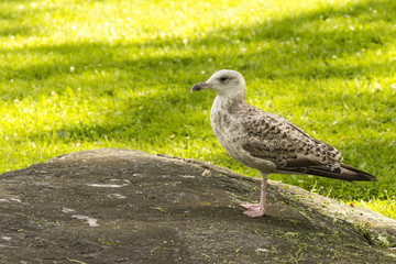 Seagull  in park