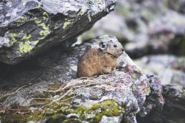 Altai pika on stone. Wild animal