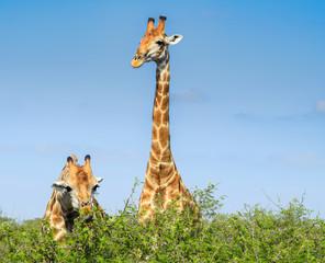 Giraffe from Kruger Park South Africa