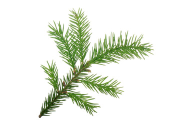 branch of fir isolated