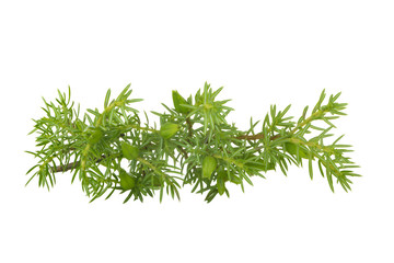 juniper branch isolated