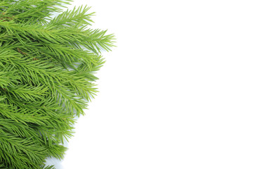branches of fir isolated