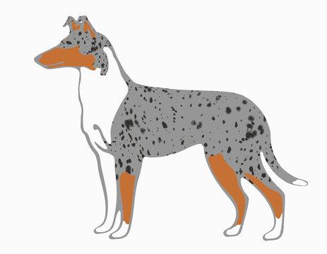 Kurzhaarcollie Illustration blue merle