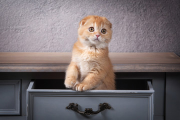 Cat. Scottish fold kitten on wooden table and textured background