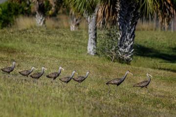 Family of Limpkins (Aramus guarauna) after crossing the road in Babcock Wildlife Management Area, Punta Gorda, Florida
