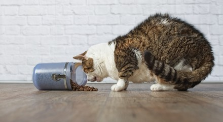 Getigerte Katze stiehlt Trockenfutter aus einer Futter Dose