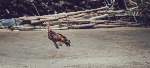 Chicken have only one leg