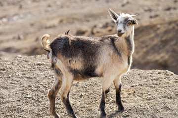 Cute, grey and brown goat grazing in rocky, volcanic mountains, blurred background .