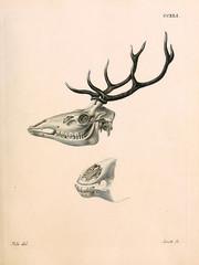 Illustration of a deer skull.