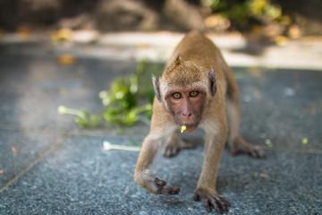 close up Monkey face fierce. monkey walking and looking.