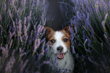 Dog Jack Russell Terrier on lavender field