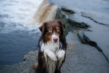 Dog Australian shepherd dog and waterfall