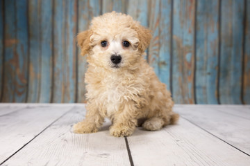 Malti-Poo with blue wood background