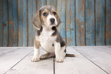 Beagle with blue wood background