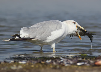 Close up photo seagull eats a big fish on the water