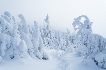 Wall Mural - Winter forest after a snowfall