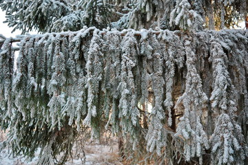 Long dangling pine paws covered with hoar frost in winter.