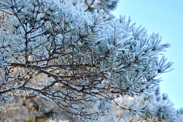 Pine branches covered with hoar frost in winter on a background of blue sky .